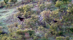 Two sambar stags