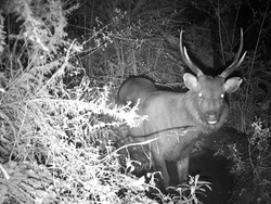 sambar stag in wallow