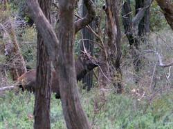 A unusual sambar stag