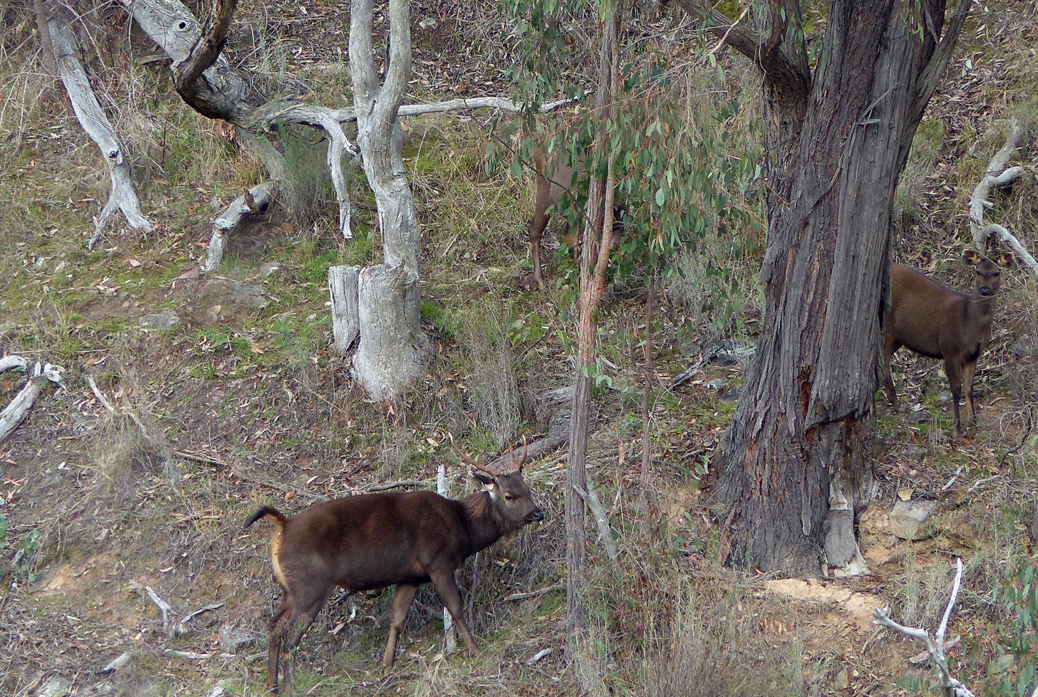 sambar stag and hinds