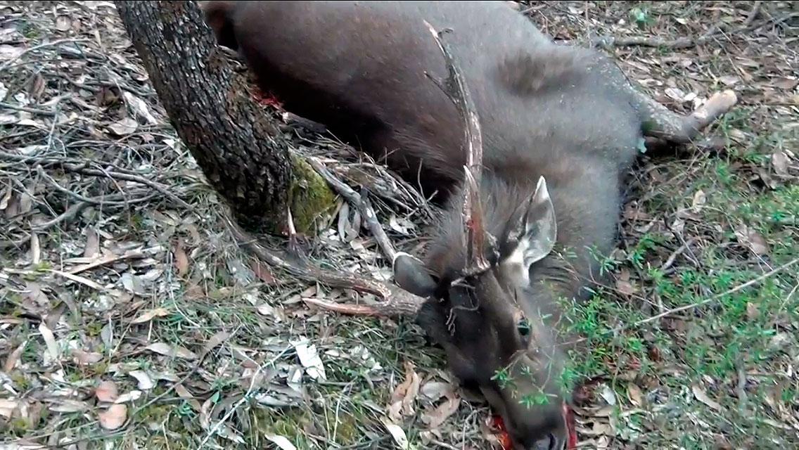 Sambar stag as he fell