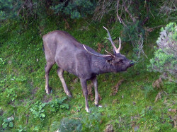 sambar stag sniffing the air