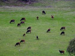 A Lot of Sambar Deer