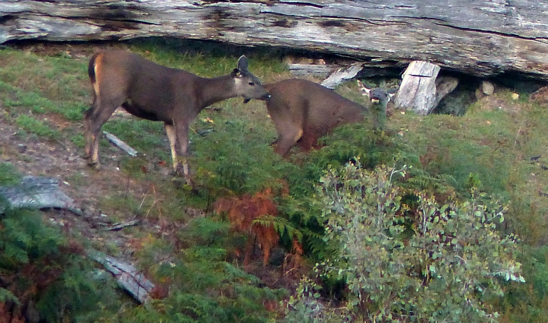 Two sambar Hinds