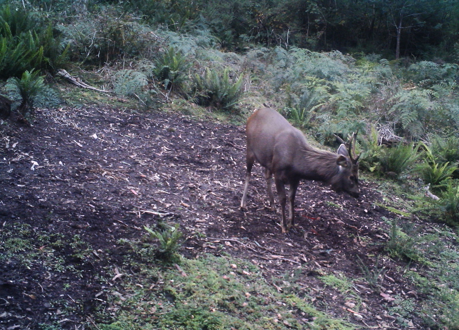 small stag playing at a rutting pad