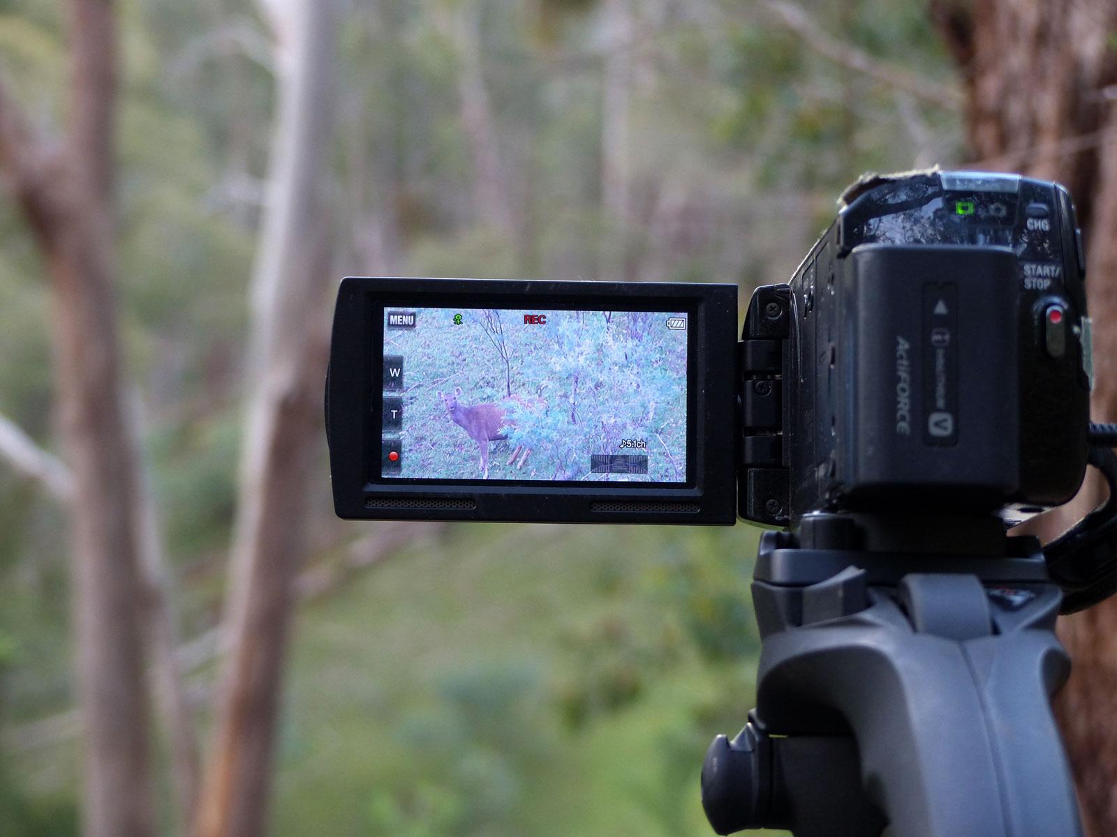 videoing sambar hind