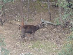 sambar stag