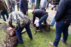 butchering sambar deer