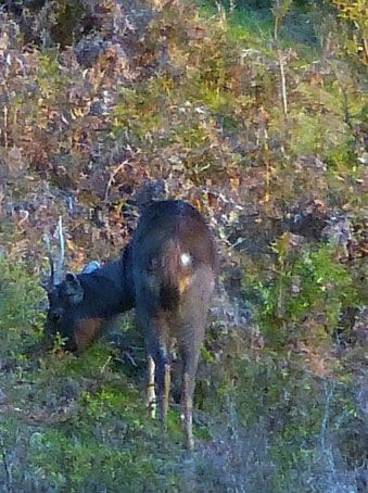 sambar stag feeding late afternoon