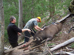 caping a 30 inch stag