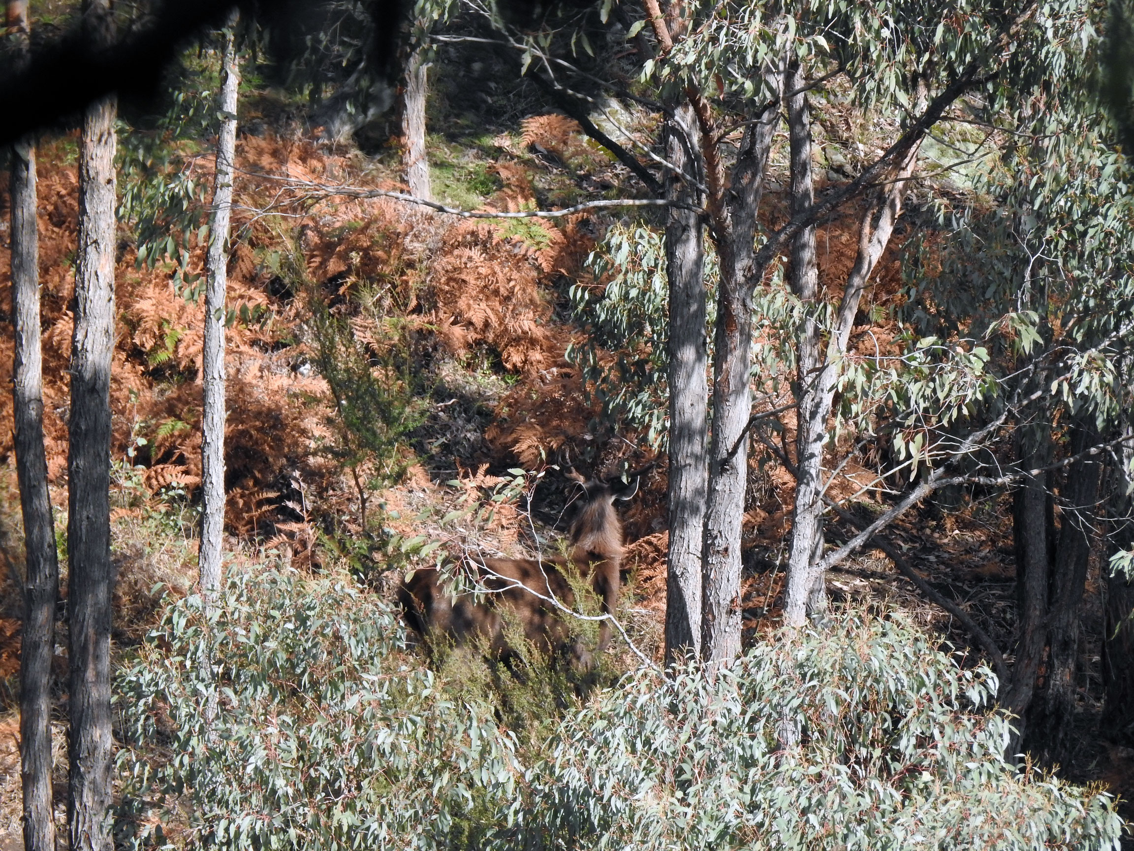 Stag In The Ferns