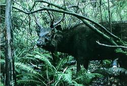 bailed sambar stag