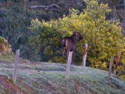 sambar stag feeding