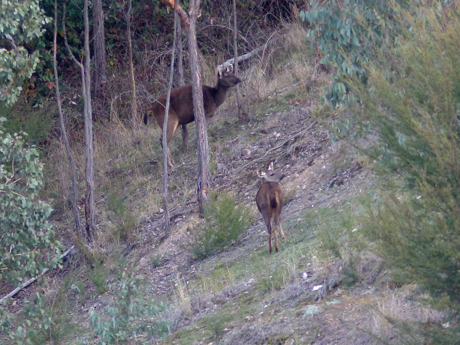 mum & fawn sambar deer