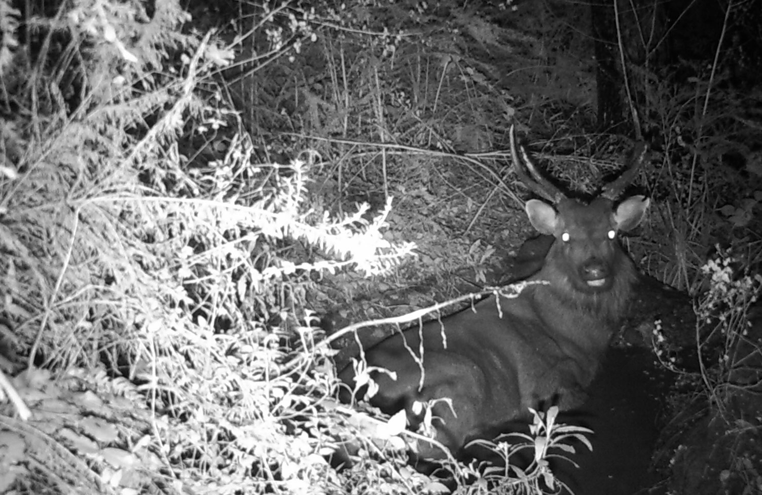 sambar stag in wallow