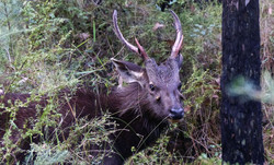 Bailed Stag