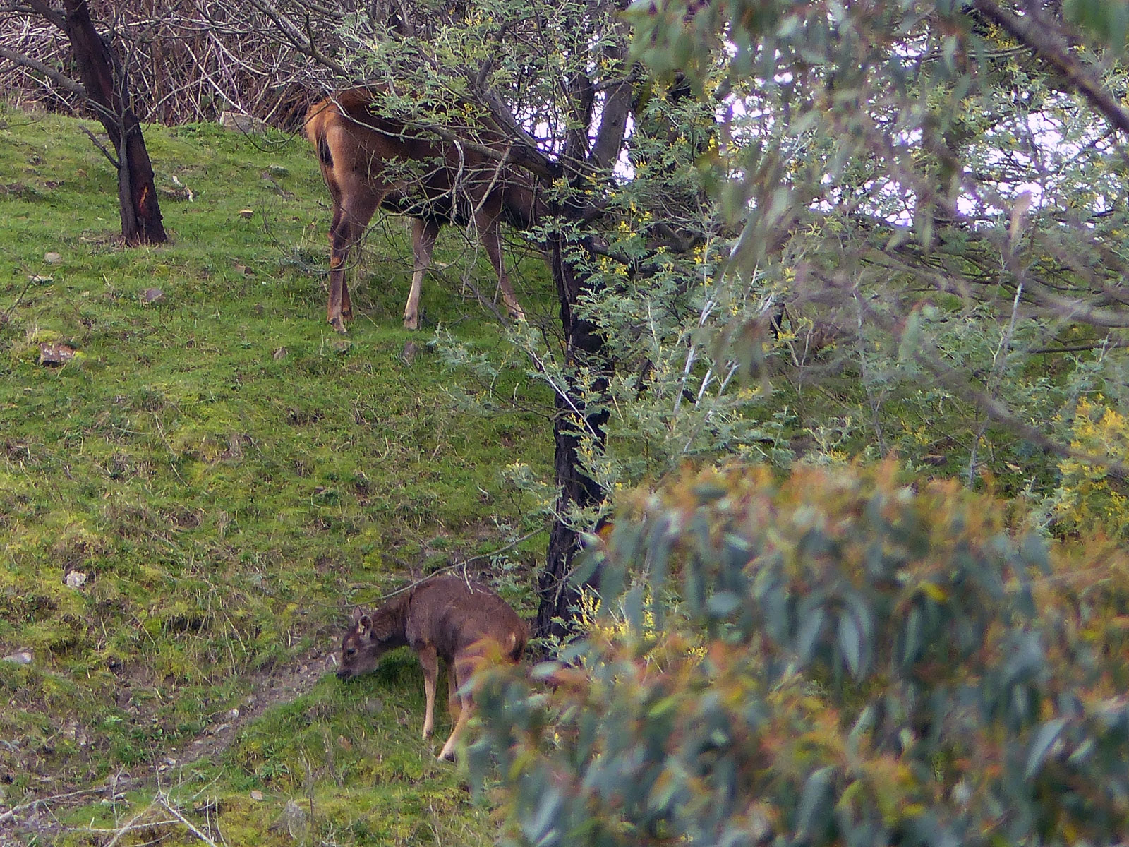 Sambar hind and fawn feeding