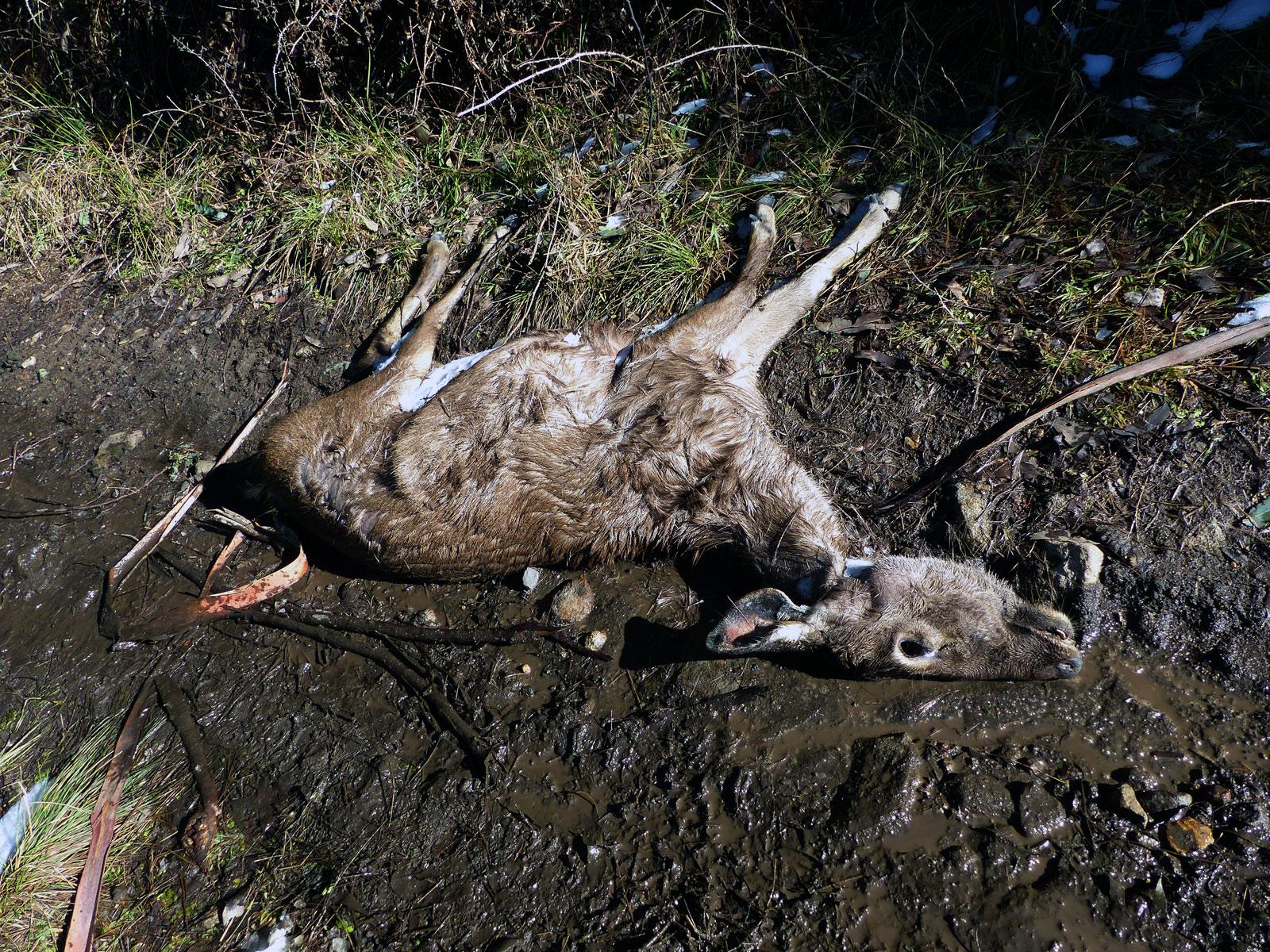 dead sambar hind
