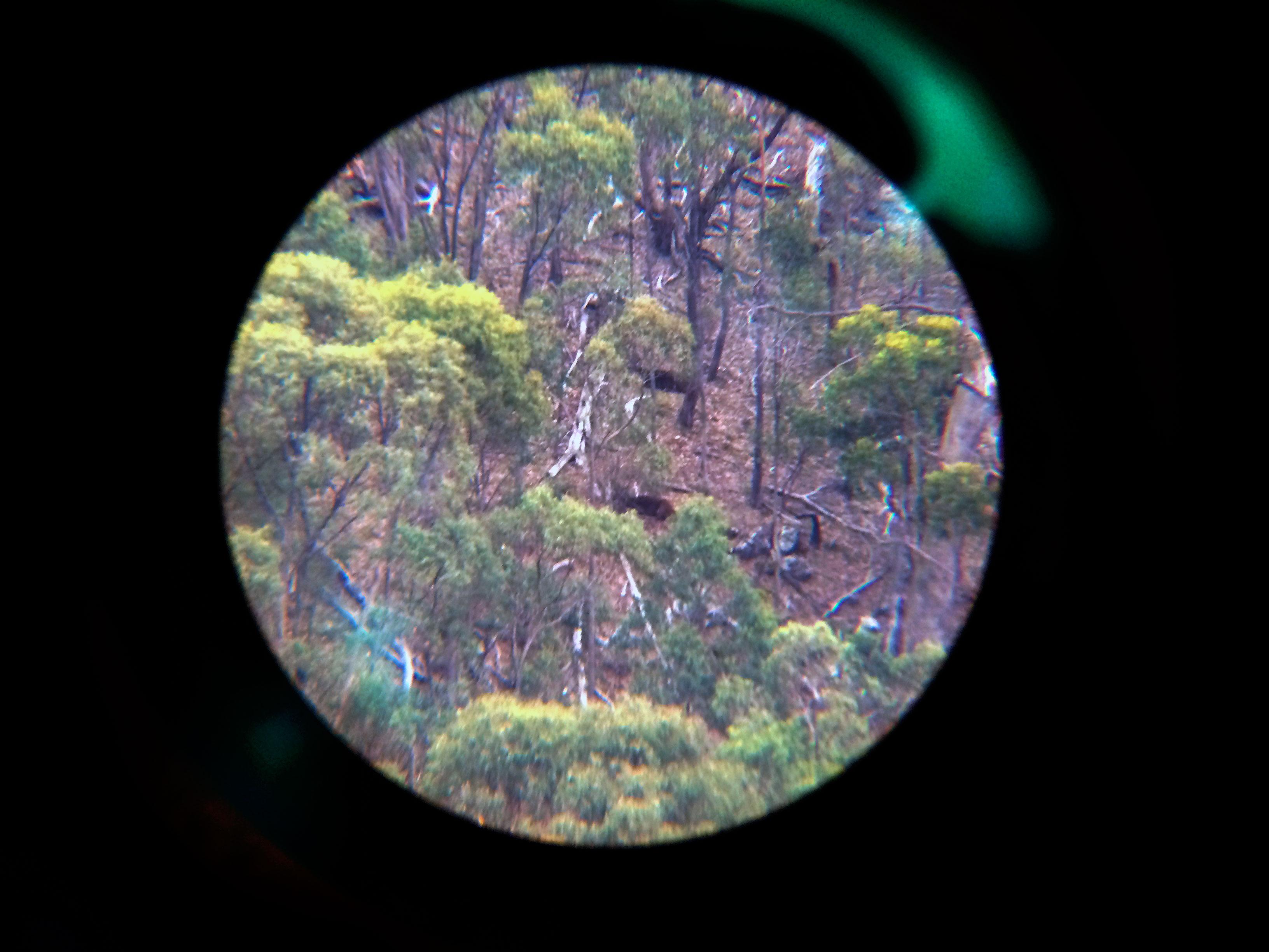 Deer in spotting scope