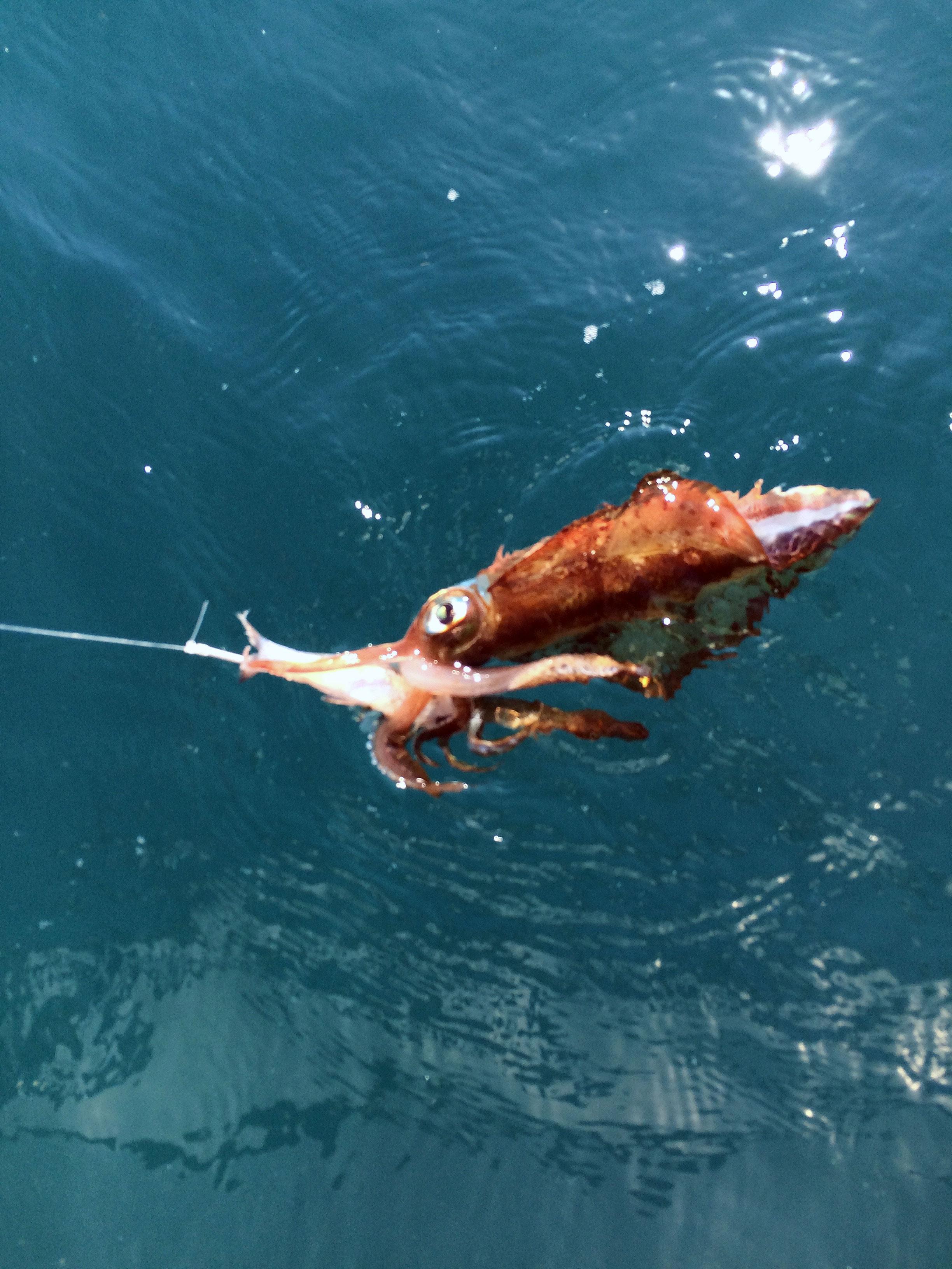 Southen calamari squid
