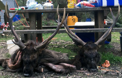 two nice stags
