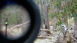 Sambar hind in the scope