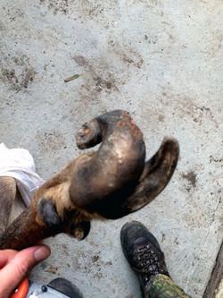 deformed sambar hoof