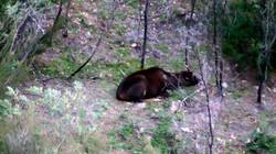 Sambar stag sleeping