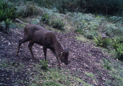 Ismall stag playing at a rutting pad