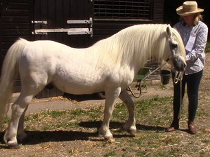 Welsh Mountain Ponies on their Farms - the first 4 of 22 farms we visited-