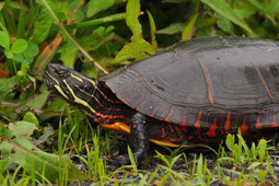 paintedturtleid10june13002e.jpg
