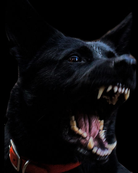 A black dog at the attack with it's mouth open in a loud bark, ready to bite.