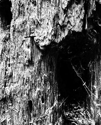 High-contrasted holes in the bark of a tree, along with spidre webs in each hole.