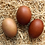 Thumbnail: Black Copper Marans