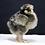 Thumbnail: Partridge Cochin