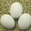 Thumbnail: White Leghorn