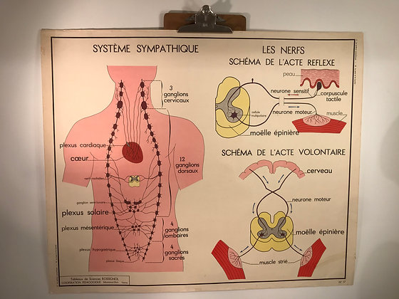 2 Sided French 'The Nervous System' school science poster 1950/60's
