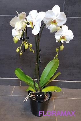 Orchidée Umbrella