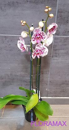 Orchidée blanche et mauve