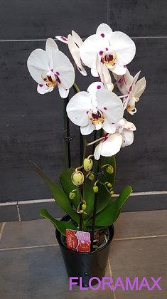 Orchidée cascade blanche etmauve