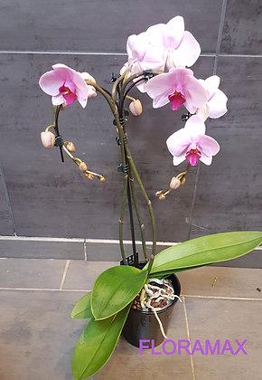 Orchidée Umbrella rose et fuchsia