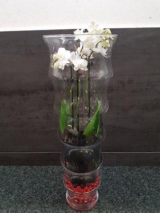 Orchidéeblanche