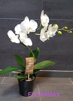 Orchidée spirale
