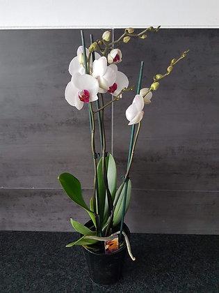 Phalaenopsis 3 tiges (blanc)