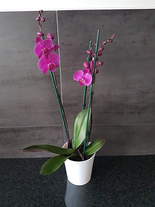 Orchidée fuchsia en pot