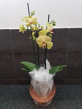 Orchidée triple tiges