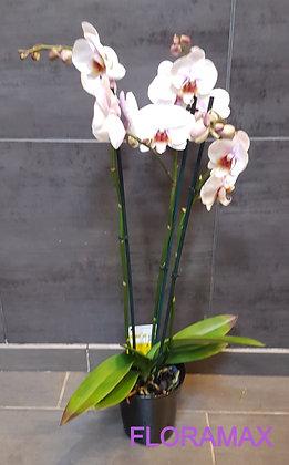 Orchidée rose et coeur fuchsia