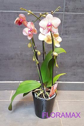 Orchidée cascade orange