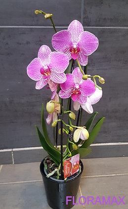 Orchidée lignée fuchsia