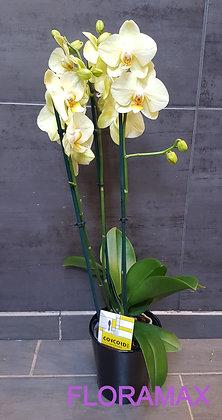 Orchidée vert pâle